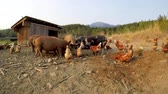 opieka : Pigs and hen having food in the farm on a sunny day 4k Wideo