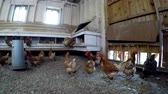 abrigo : Hen grazing in the chicken coop at farm 4k