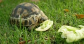 tartaruga : Close-up of tortoise eating food in home yard 4k