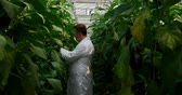 hodnocení : Side view of male scientist examining aubergine in greenhouse 4k