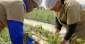 metade do comprimento : Side view of ethnic female workers concentrating on picking blueberries in blueberry farm. In slow-motion