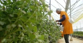 üç çeyrek uzunluk : Distant low angle side view of mixed race female worker picking blueberries in greenhouse at blueberry farm Stok Video