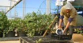 crate : Front view of a female worker in work clothes putting blueberries in crate in greenhouse.