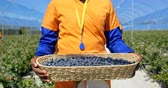 výsadba : Front view mid section of female worker carrying blueberries in blueberry farm. Woman carrying basket with blueberries after they were picked, in slow motion Dostupné videozáznamy