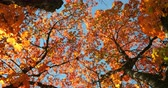 yokluk : Low angle view of autumn leaves. Orange autumn leaves on a sunny day 4k