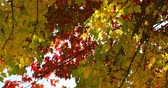 urlop : Close-up of autumn leaves. Beautiful autumn leaves on a sunny day 4k Wideo