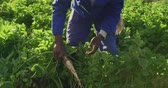 pastinaak : Front view of a young African American male farmer in an organic agricultural field, pulling a parsnip out of the ground