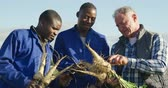 pastinaak : Front view close up of a mature Caucasian male farmer and two young African American male farmers in an organic agricultural field, holding a bunch of parsnips pulled out of the ground and talking