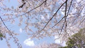 april : Blooming Cherry Blossoms In Tokyo, Japan Stock Footage