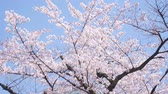 alerji : Blooming Cherry Blossoms In Tokyo, Japan Stok Video