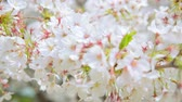 pink flower : Blooming Cherry Blossoms In Tokyo, Japan Stock Footage
