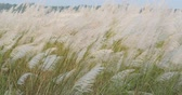 vento : Miscanthus Sinensis, Maiden Silvergrass, Susuki Waving In The Wind