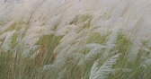 Miscanthus Sinensis, Maiden Silvergrass, Susuki Waving In The Wind