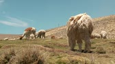 montanha : Lamas in the Andes of Peru Stock Footage
