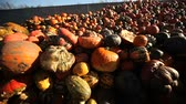 front end loader : Video footage of a loading food over production of pumpkins with a tractor Stock Footage