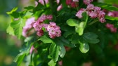 slowly, shrubs with pink flowers swing in the wind