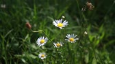 Field daisies are rocking in the wind