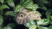 крупные планы : Nice big butterfly on leaf. Close-up of butterfly on green plant. Tropical butterfly with beautiful wings, proboscis and sockets.