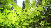 skandynawia : Fern leaf. Fern foliage in Norwegian Forest