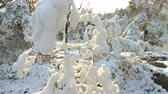 karelia : Forest in snow near the Espoo. Finland. Stock Footage
