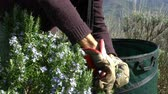 rosmarinus : Collecting rosemary in the Alps. The Italian man cuts leaves and flowers of rosemary in the mountains in the north of Italy, with garden scissors.