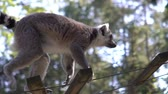 catta : Ring-tailed lemurs at the park zoo. Slow motion