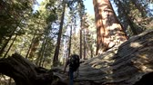kings canyon : Caucasian Hiker on the Fallen Giant Redwood Sequoia Tree Exploring the Park.