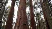 kings canyon : Giant Redwood Sequoia Forest. United States of America. Hiker on the Park Trail.