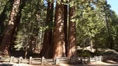 kings canyon : Sierra Nevada Giant Ancient Forest. Giant Sequoia Tree Closeup Photo. California Sequoia and King Canyon National Parks. United States. Stock Footage