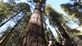 kings canyon : Giant Sequoia Trees in Sequoia National Forest, California, USA. Stock Footage