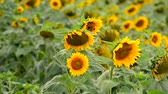 helianthus : Flowering Sunflowers