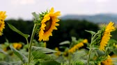 helianthus : Sunflowers Field Stock Footage
