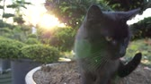 memeli : Black Cat and the Sunset Slow Motion Footage Stok Video