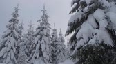 algida : Scenic Winter Weather Scenery. Spruce Forest Covered by Heavy Snow. Filmati Stock