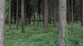 kök : Alpine Region Forestry. Summer Time Coniferous Forest Scenery. Spruce Forest.
