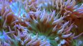 rod : Whisker Coral Closeup. Monotypic Genus of Stony Corals. Marine Aquarium