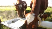 trough : cattle drinking from hod Stock Footage