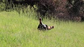 hiking trail : Shiloh Ranch Regional Park, California - The wild turkey (Meleagris gallopavo) is an upland ground bird native to North America and is the heaviest member of the diverse Galliformes.