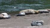 pelikán : California Jenners rookery attracts mostly Pacific harbor seals. Each spring a large sand spit builds up in Jenner, right at the mouth of the Russian River. Dostupné videozáznamy