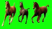 mare : Galloping Horses (Green Screen) - Three horse (Palomino, Paint and Appaloosa) gallop in three-quarter view. Looping Stock Footage