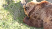 perigo : Bear in Bern Zoo Park
