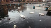 spojené království : Swans and other birds on a canal in London, in a residential district. The water is dirty and dark. Pollution and environment concepts Dostupné videozáznamy