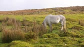 mgła : Wild horse grazing in a green meadow in Wales. A white pony alone in the countryside eating and looking around. Nature and animals concepts.