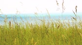 língua : Close up view of grass on top of Dover white cliffs on a sunny summer day. Nature and background. Vídeos