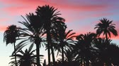 многоцветный : Palm trees silhouette at sunset in Majorca. Backlight view of palm trees with blue and orange sky on background. Nature and travel concepts.