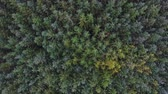 Overhead view of green trees in the forest. Aerial image taken with a drone of firs and larches, conifers trees, creating a pattern for a background. Nature and outdoors concepts