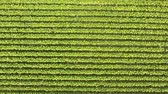 Aerial top view of a tobacco plantation in Italy. Agriculture and nature concepts, summer sunny day in soouthern Europe. Drone shot from close up to high up, green texture and background. Wideo