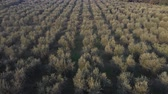 olíva : Olive tree grove aerial view in Italy. Countryside scene at sunset with many rows of olive trees on a hillside in southern Italy. Agriculture and nature concepts