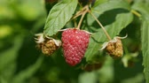 carmesim : Raspberry closeup in garden
