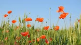 czerwony : Red poppies in rye field swaying in wind